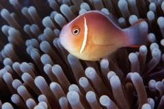 Common Clownfish with Mushroom Coral. Coral Sea, Flinders Reef